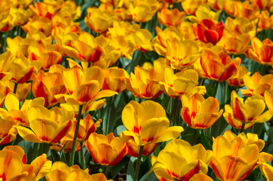 Blooming Monsella Tulips