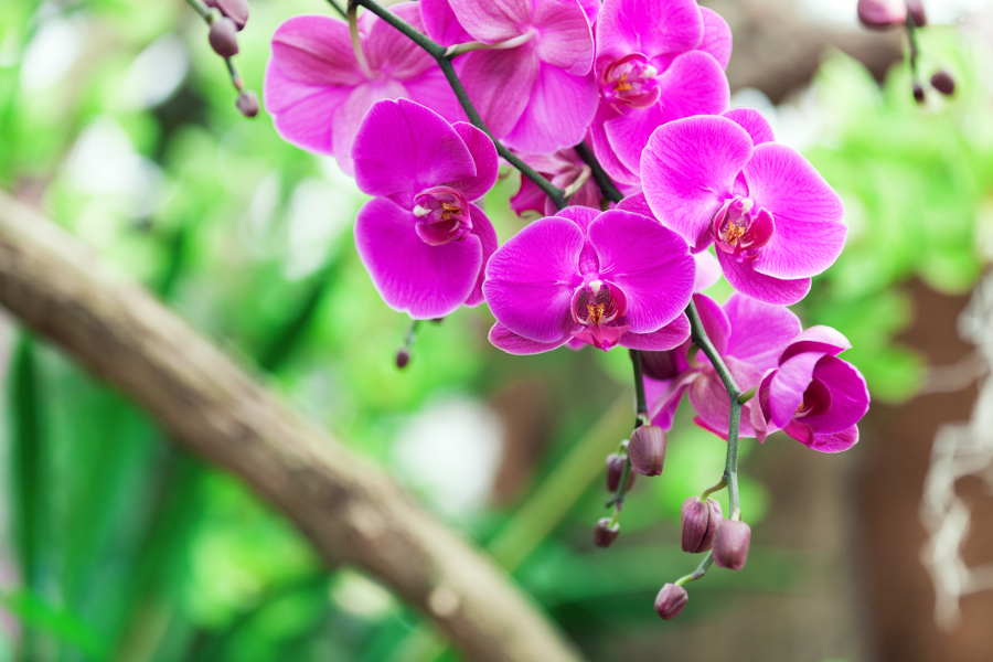 Purple orchids close-up