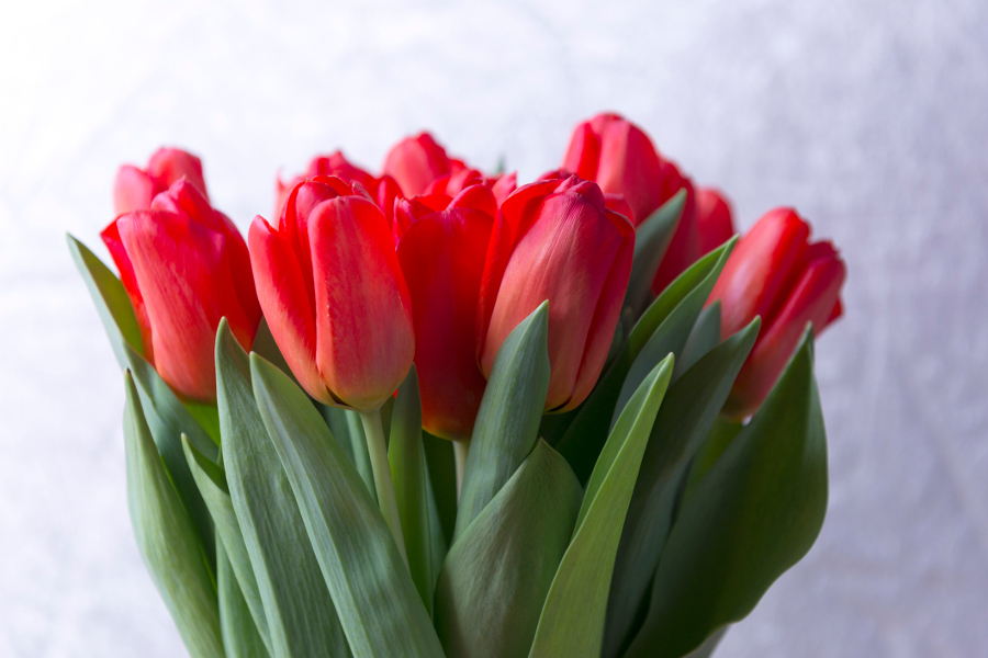 Learn All About Each Tulip Color Meaning Petal Talk