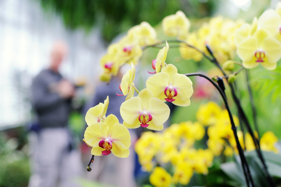 Yellow orchids at orchid festival
