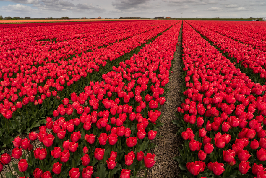 Holland Tulip Festival Red Tulips