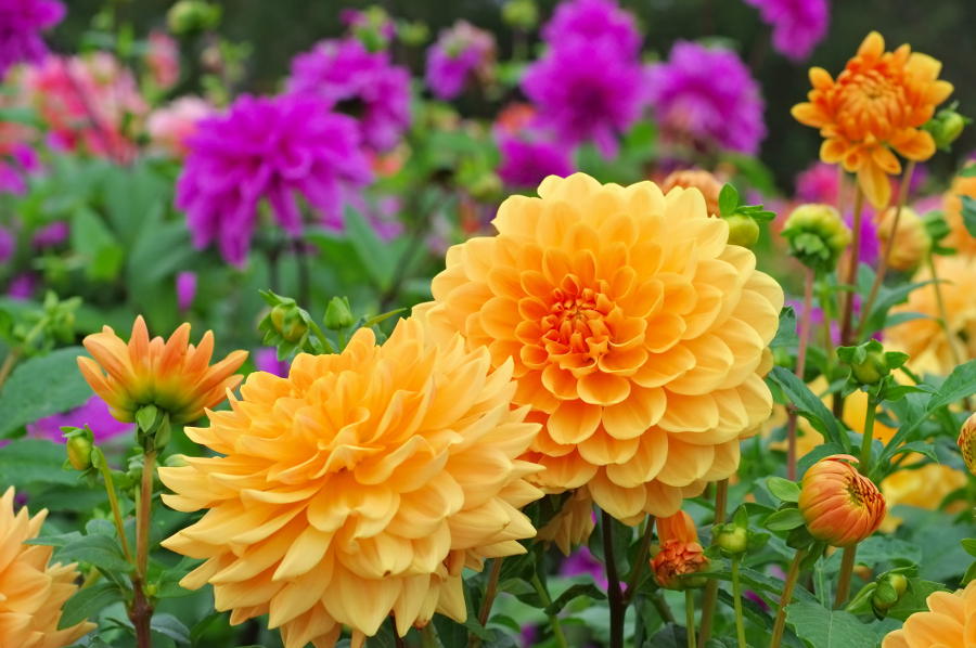 Dahlia Flowers- Orange & Purple