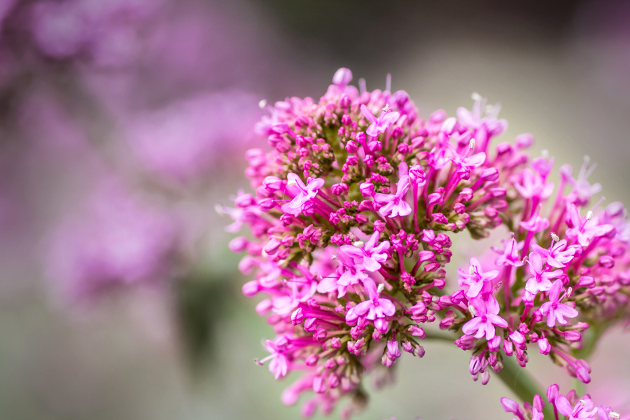 Red Valerian Flowers Close-Up