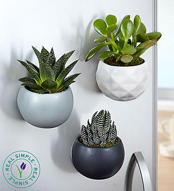 Send these magnet succulents from 1800Flowers.com!