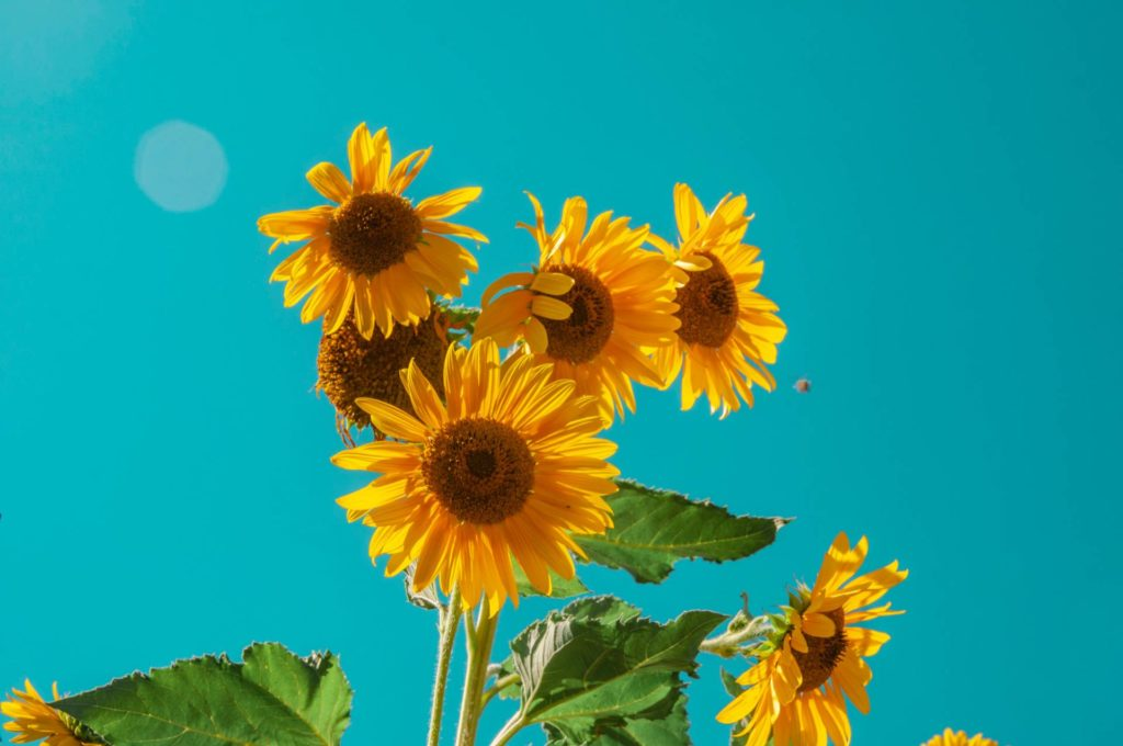 Here are pictured sunflowers, one of the most recognizable and beloved flowers in nature. This image shows a sunflower toward the end of its life cycle.