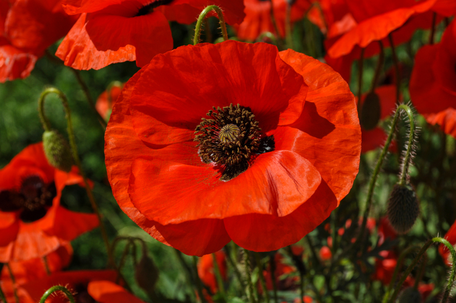 red poppy in the field among the grass