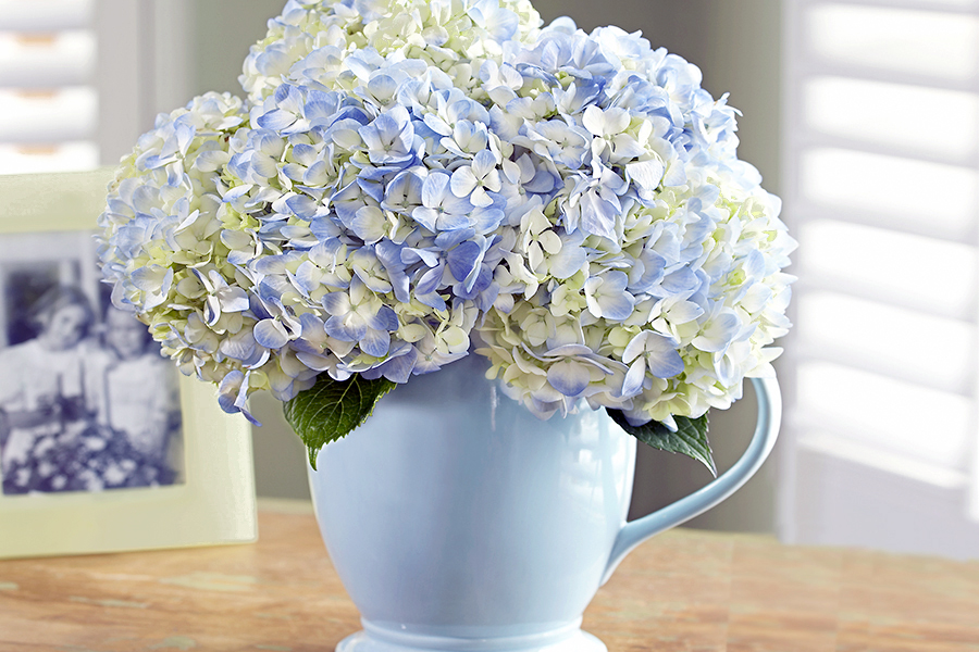 Blue Hydrangea in Blue Pitcher