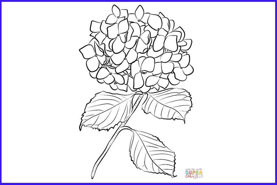 Hydrangea coloring page