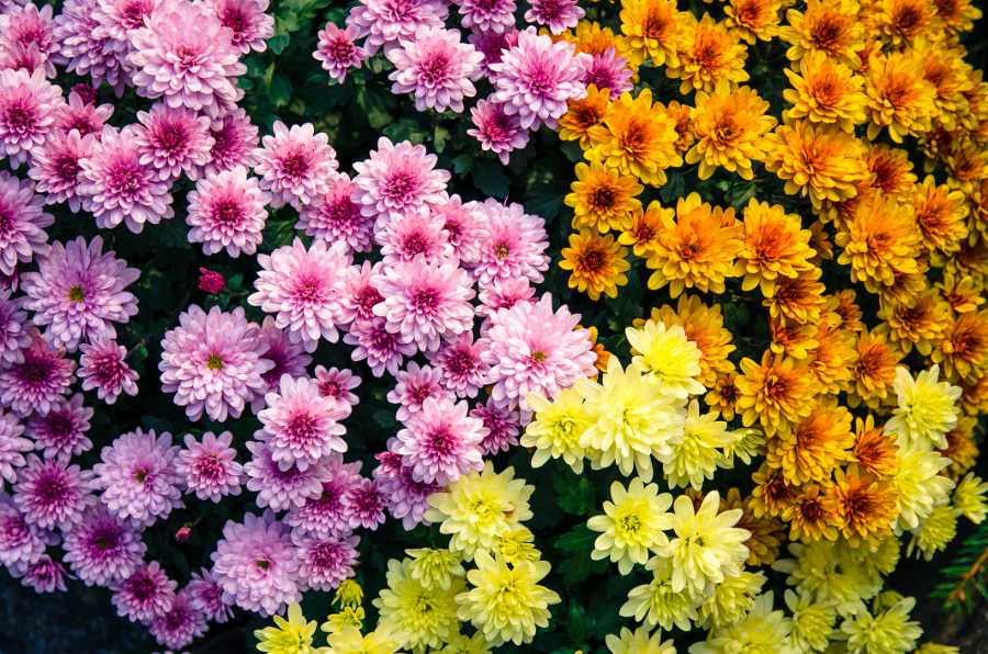 purple orange yellow chrysanthemum flowers