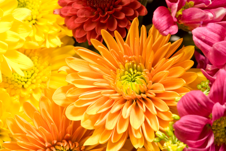 yellow and orange chrysanthemum flowers close up