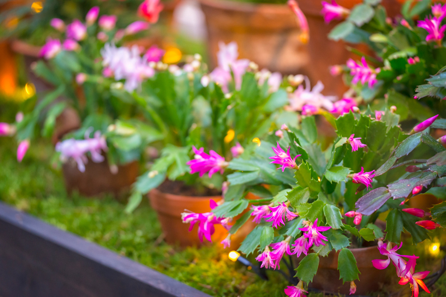 group of christmas cactus