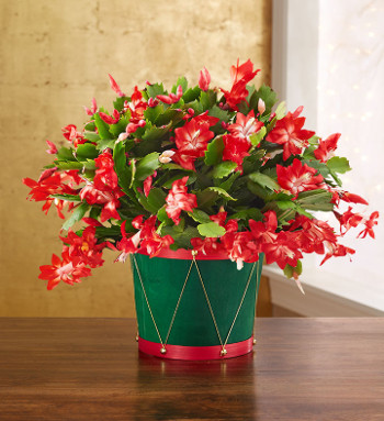 Christmas Cactus Facts and Care Tips | Petal Talk