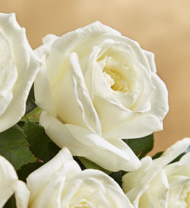 Alabaster Garden Rose in White