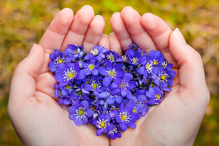 violet flowers in heart shape in hand
