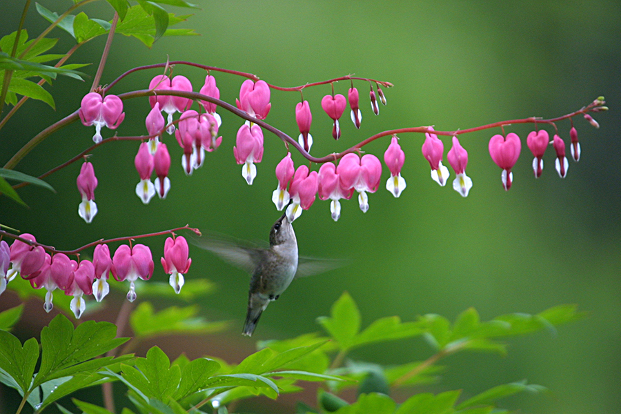 Hummingbird Feeding at Bleeding Heart Bloom