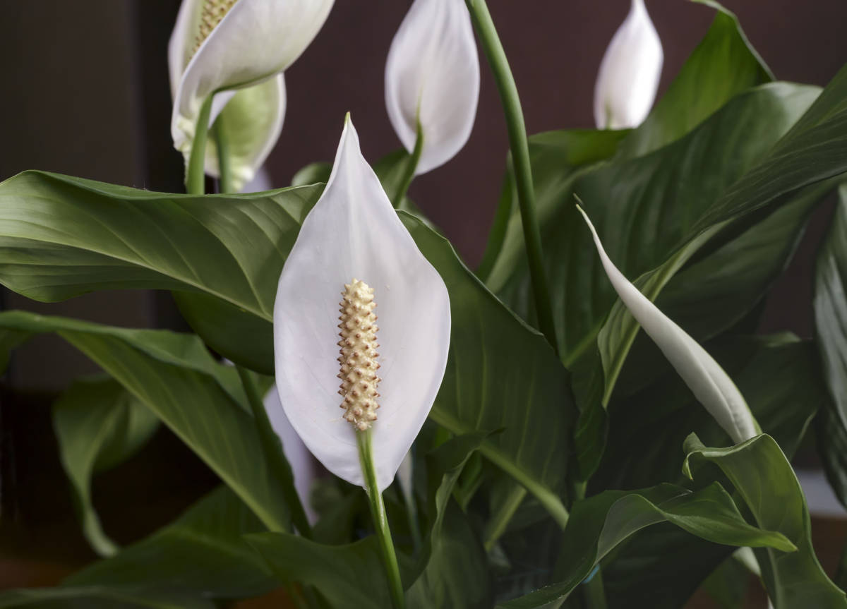 Best indoor plants for your home petal talk though its not actually a lily this plant is beloved for its ability to look beautiful even when its not in bloom mightylinksfo
