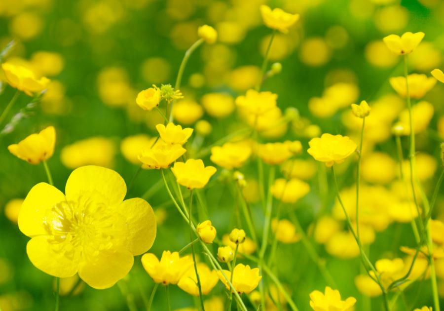 Photo of buttercups, the zodiac flower of Virgo.