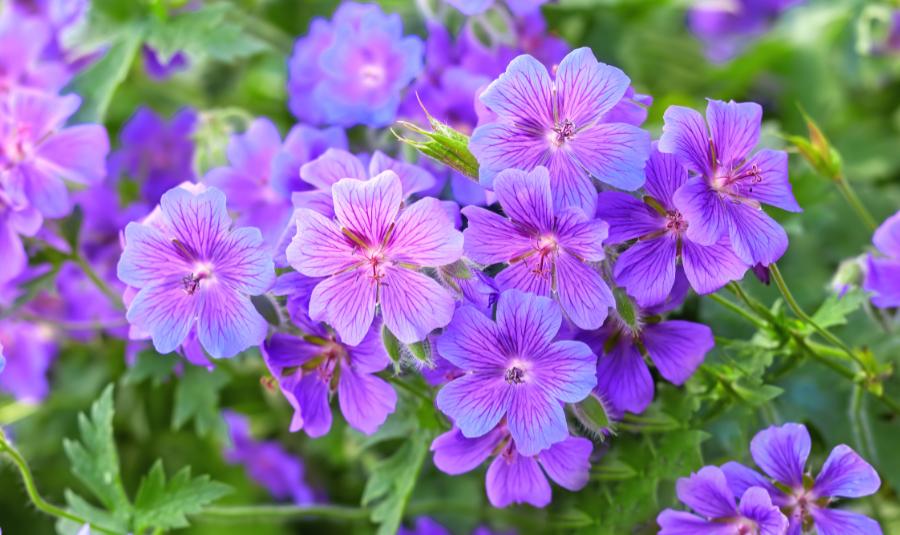 Photo of geraniums, zodiac flowers of Scorpio.