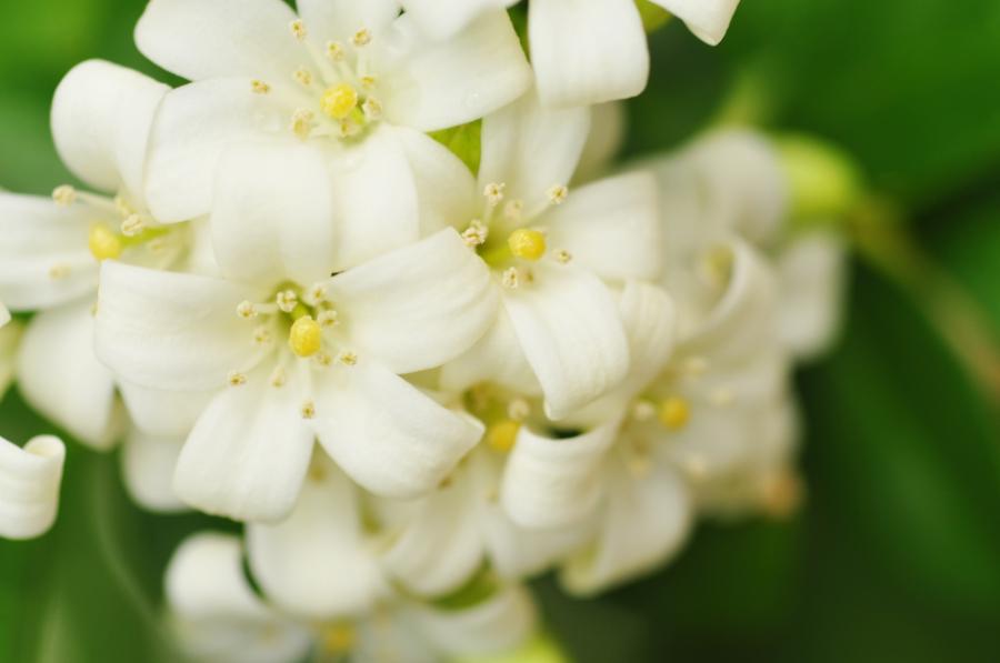 white-jasmine-flowers