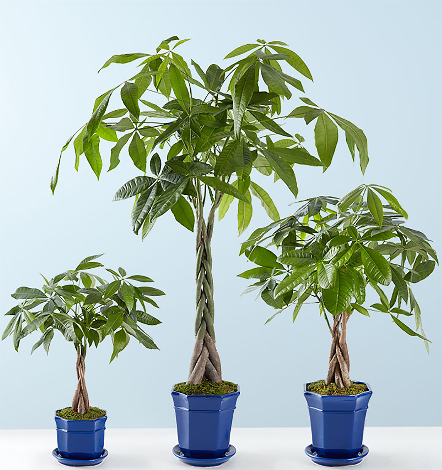 Money Trees in Small Medium and Large Sizes