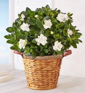 flower-types-gardenia-plant
