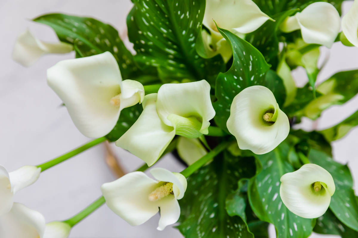 flower-types-calla-lily-plant