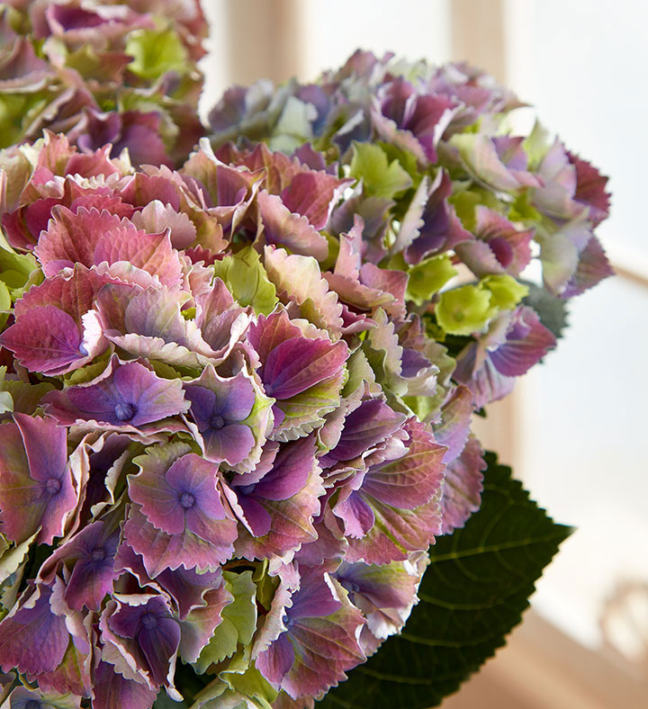 popular house plants hydrangea