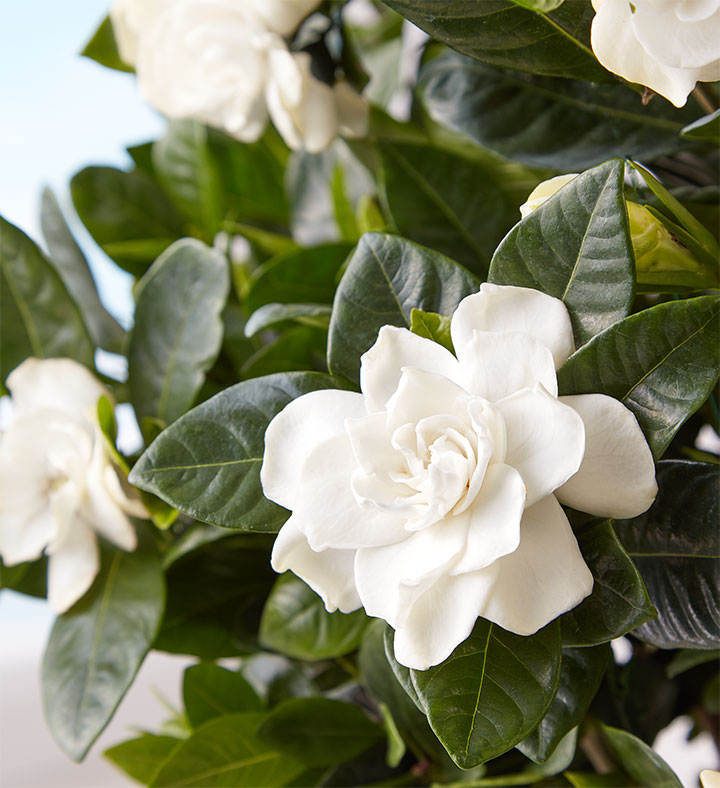 popular house plants gardenia