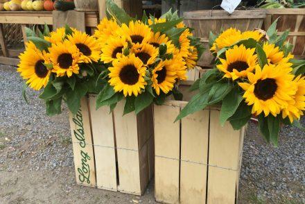 sunflower farms long island