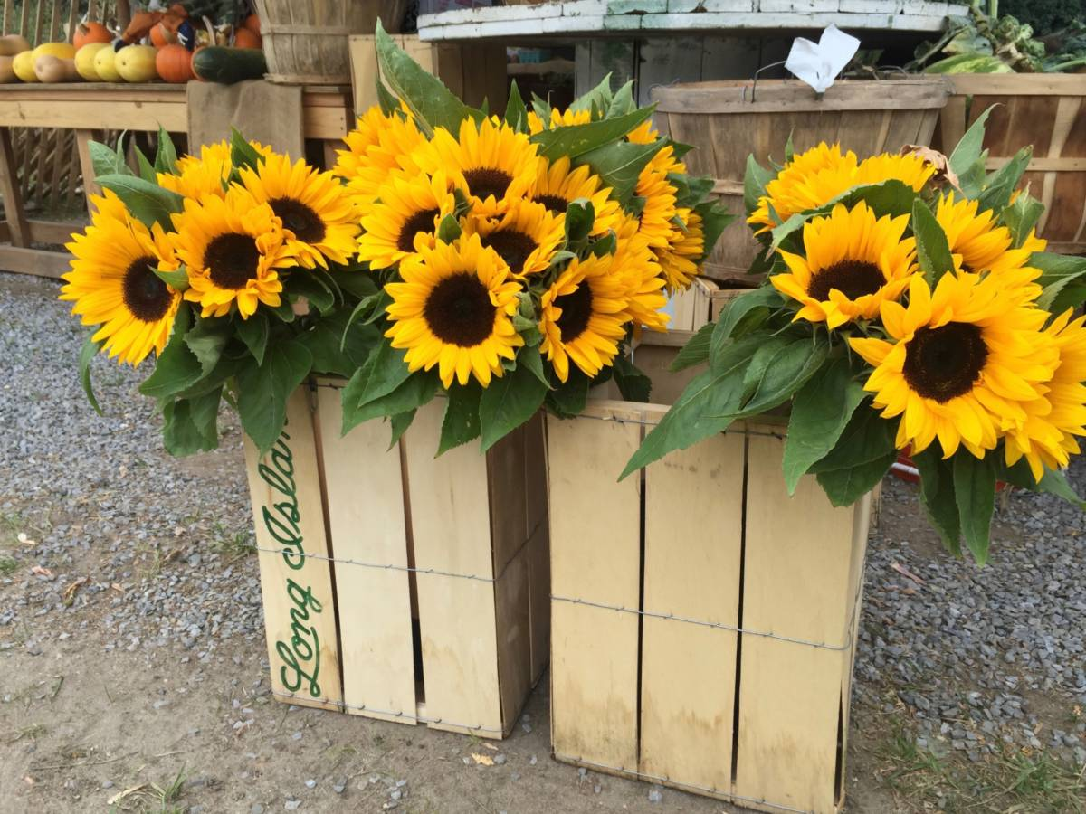 sunflower care