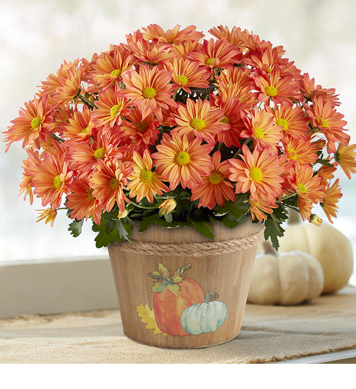 fall blooming flowers mums