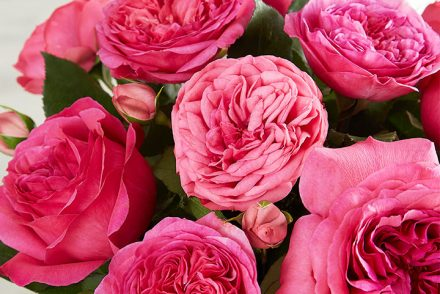 hot pink English garden rose