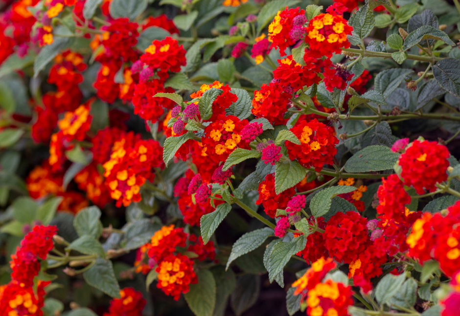 lantana blooming flowers