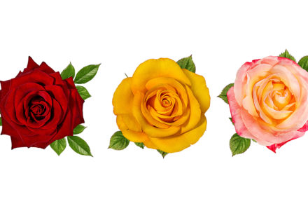 three-rose-types