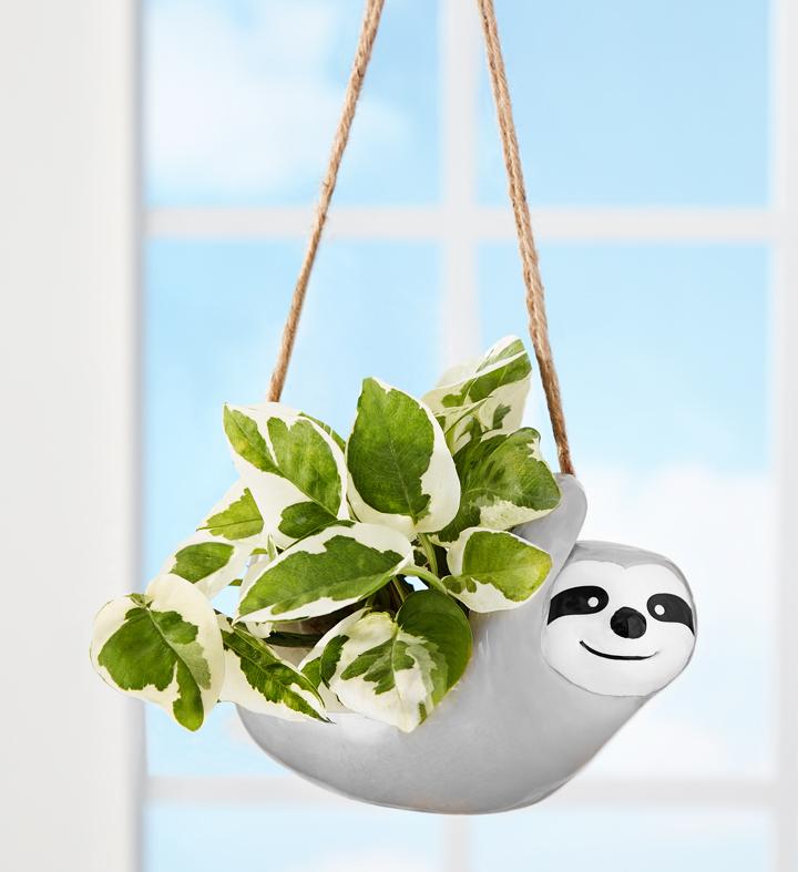Pothos Sloth Plant
