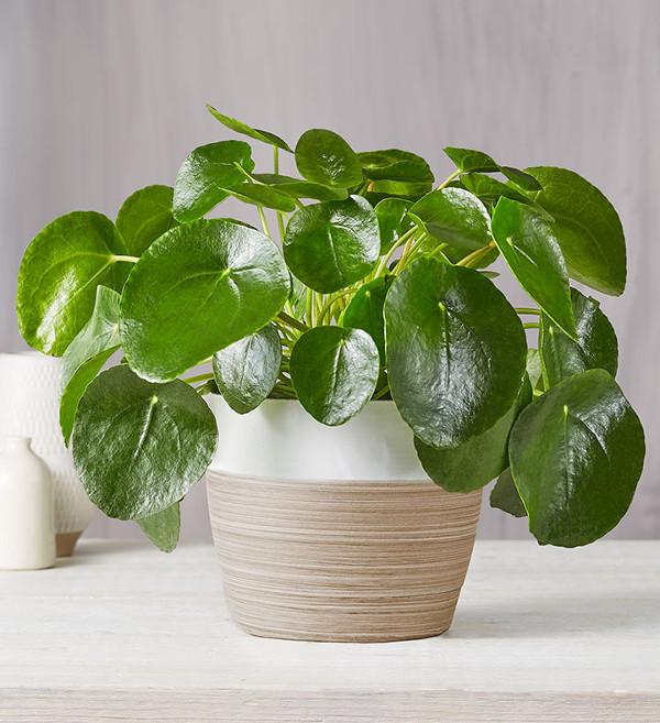 Pilea Peperomiodes Plant