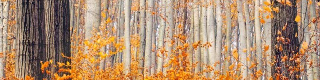 Orange leaves on trees