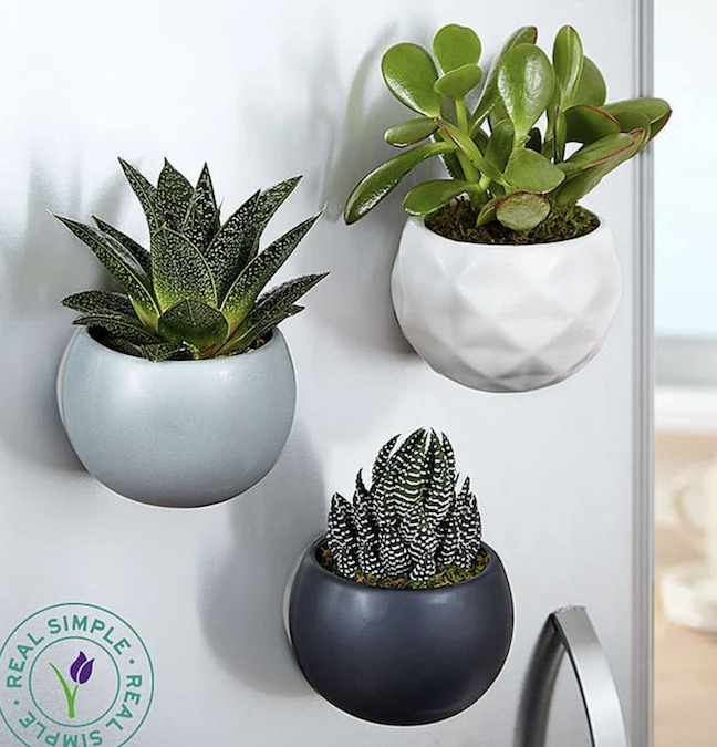 Photo of a trio of magnetic succulents