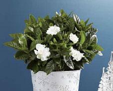 White gardenia plant