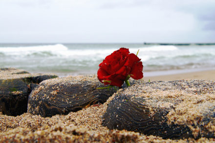 Red rose on beach