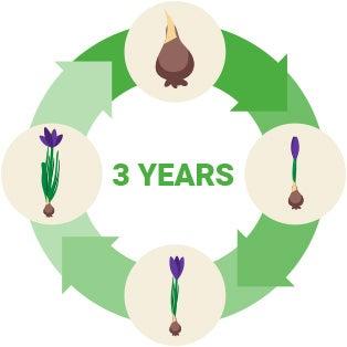 perennial bulbs life cycle