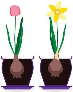 long lasting tulips and daffodils bulbs