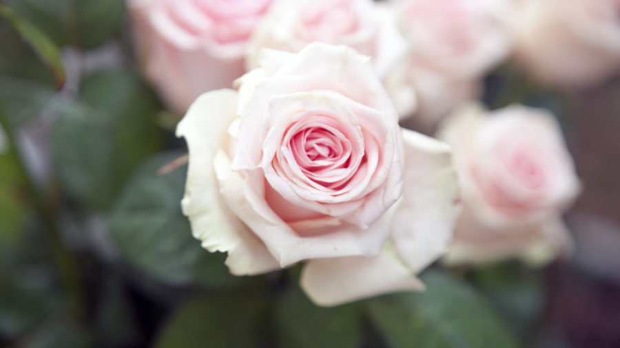 strange facts about roses pink rose