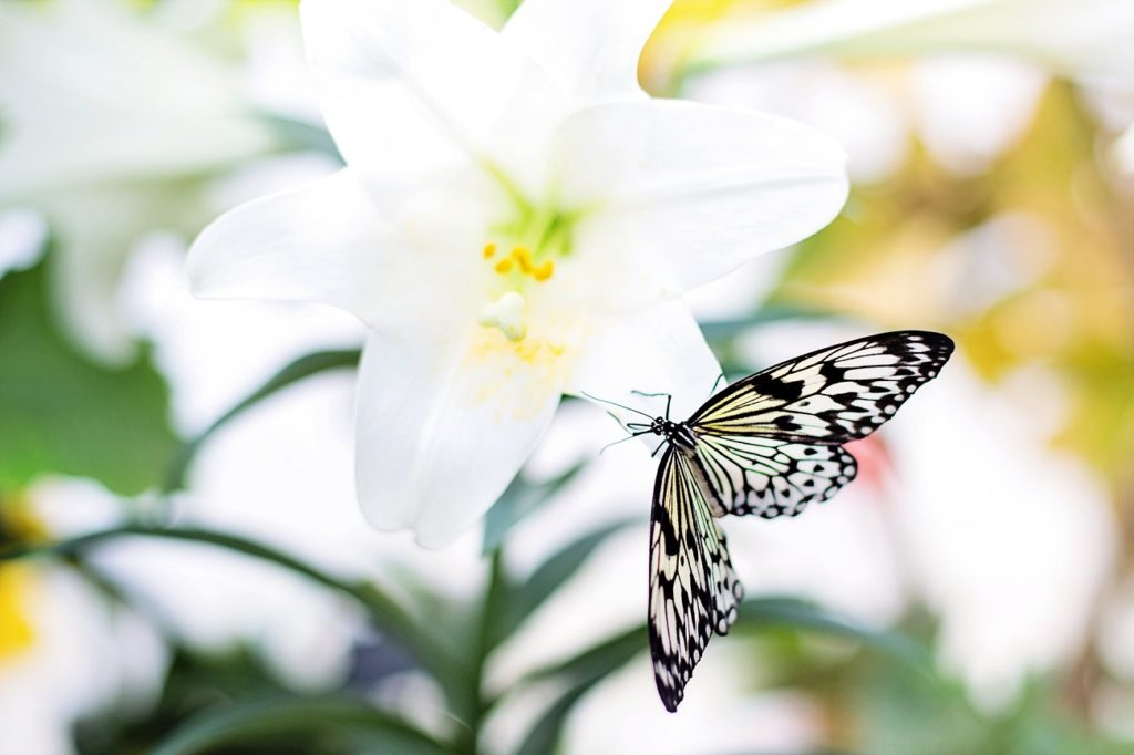 Butterfly on Easter lily