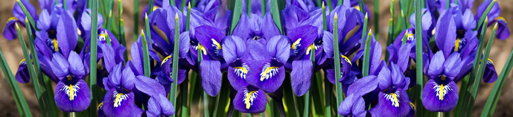 Iris, a popular flower type pictured here, are native to Europe, the Middle East, North Africa, Asia, and North America.