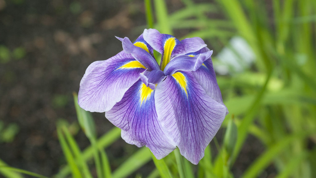 Photo of a purple iris in bloom, one of many Japanese flowers