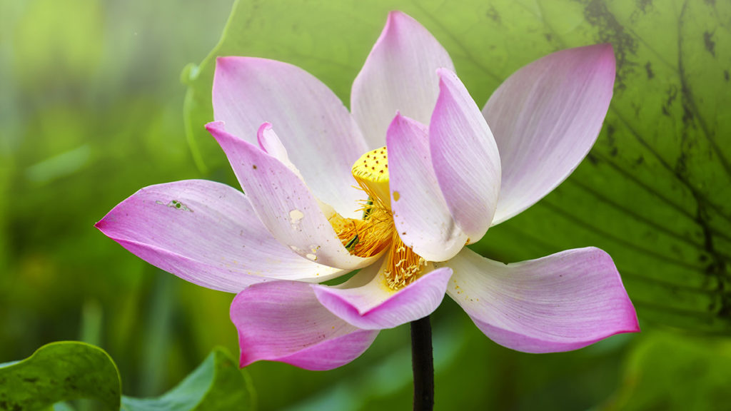 Photo of a pink lotus, a popular type of Japanese flower