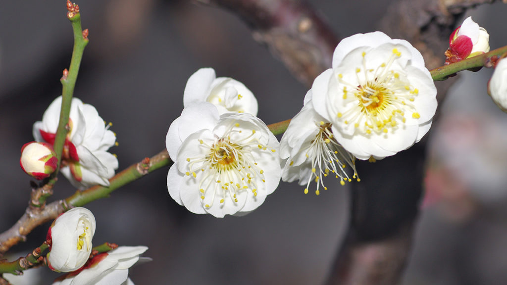 Japanese apricot blossom convey faithfulness, elegance, and purity of heart.