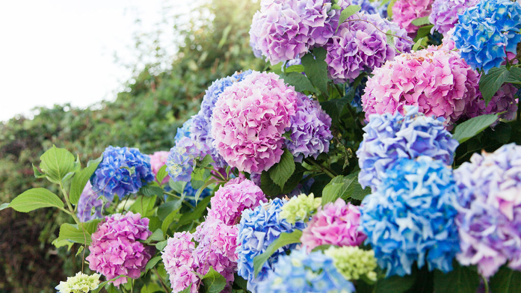 Hydrangeas, one of many types of Japanese flowers, symbolize gratitude or apology in Japanese culture.