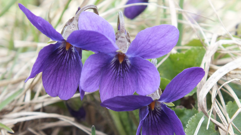 Photo of a purple violet, a popular type of Japanese flowers